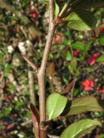 Chaenomeles speciosa - Thorn - Click to enlarge!