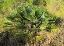 Chamaerops humilis - Habit - Click to enlarge!