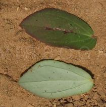 Chamaesyce hyssopifolia - Upper and lower side of leaf - Click to enlarge!