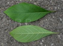 Chionanthus virginicus - Upper and lower surface of leaf - Click to enlarge!