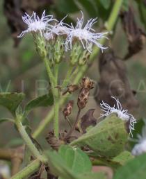 Chromolaena odorata - Flower heads, side view - Click to enlarge!