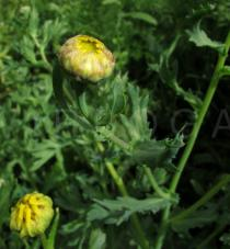 Chrysanthemum segetum - Flowerhead bud - Click to enlarge!