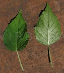 Circaea lutetiana - Upper and lower surface of leaf - Click to enlarge!