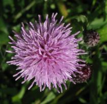 Cirsium arvense - Flower, side view - Click to enlarge!