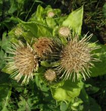 Cirsium oleraceum - Inflorescences - Click to enlarge!