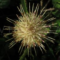 Cirsium oleraceum - Flower head - Click to enlarge!