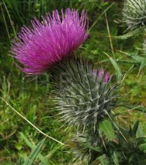 Cirsium vulgare - Flower head, side view - Click to enlarge!