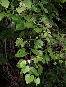 Cissus producta - Habit - Click to enlarge!