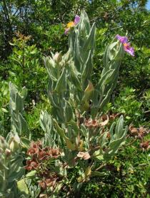 Cistus albidus - Branches - Click to enlarge!