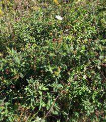 Cistus psilosepalus - Habit - Click to enlarge!