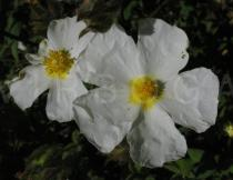Cistus salvifolius - Flower, side view - Click to enlarge!