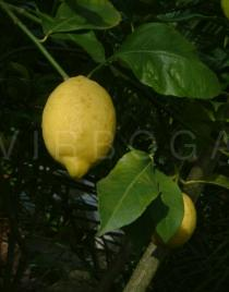 Citrus limon - Fruit - Click to enlarge!