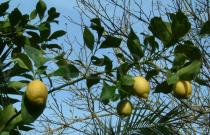 Citrus limon - Fruiting branch - Click to enlarge!