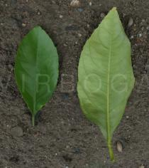 Citrus limon - Upper and lower surface of leaf - Click to enlarge!