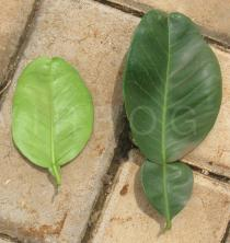Citrus maxima - Upper and lower surface of leaf - Click to enlarge!