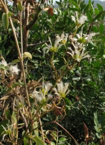 Clematis flammula - Ripening infructescence - Click to enlarge!