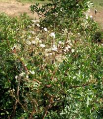 Clematis flammula - Habit - Click to enlarge!