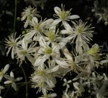 Clematis flammula - Inflorescence - Click to enlarge!