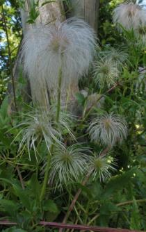 Clematis tangutica - Ripening infructescence - Click to enlarge!