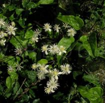 Clematis vitalba - Inflorescence - Click to enlarge!