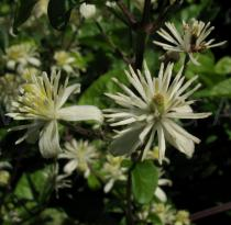 Clematis vitalba - Flowers - Click to enlarge!
