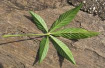 Cleome boliviensis - Lower surface of leaf - Click to enlarge!