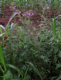 Cleome hirta - Habit - Click to enlarge!