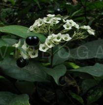 Clerodendrum thyrsoideum - Inflorescence - Click to enlarge!