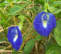 Clitoria ternatea - Flowers - Click to enlarge!