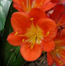 Clivia miniata - Flower - Click to enlarge!