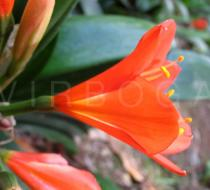 Clivia miniata - Flower side view - Click to enlarge!