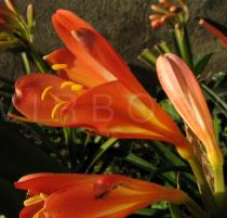 Clivia miniata - Flower, side view - Click to enlarge!