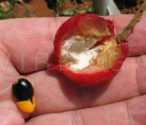 Cnestis ferruginea - Opened pod and seed - Click to enlarge!