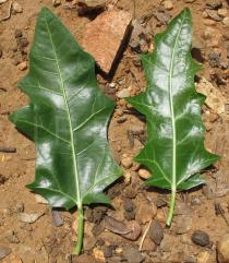 Cnidoscolus quercifolius - Upper and lower surface of leaf - Click to enlarge!