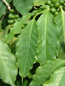 Coffea arabica - Leaves - Click to enlarge!