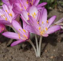 Colchicum autumnale - Flowers, side view - Click to enlarge!