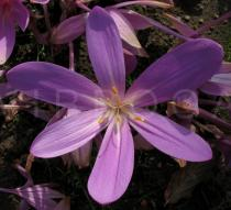 Colchicum speciosum - Flower - Click to enlarge!