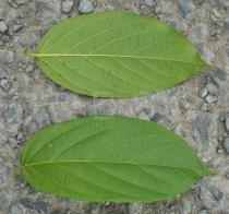 Combretum indicum - Upper and lower surface of leaf - Click to enlarge!
