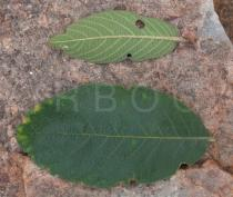 Combretum molle - Upper and lower surface of leaf - Click to enlarge!