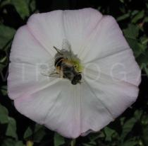 Convolvulus arvensis - Flower with pollinator [hover fly (family Syrphidae)] - Click to enlarge!