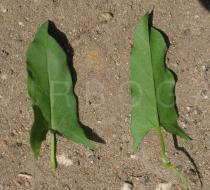 Convolvulus arvensis - Upper and lower surface of leaves - Click to enlarge!