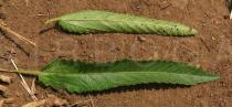 Corchorus trilocularis - Upper and lower surface of leaf - Click to enlarge!
