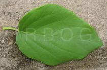 Cordia sebestena - Upper surface of leaf - Click to enlarge!