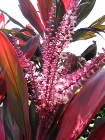 Cordyline fruticosa - Inflorescence - Click to enlarge!