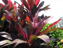 Cordyline fruticosa - Foliage and inflorescence - Click to enlarge!