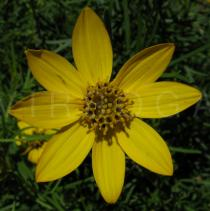 Coreopsis verticillata - Flower head - Click to enlarge!