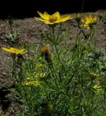 Coreopsis verticillata - Flower head, side view - Click to enlarge!
