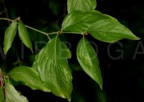 Cornus mas - Leaf insertion - Click to enlarge!