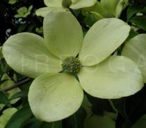 Cornus nuttallii - Inflorescence surrounded by large greenish-white bracts - Click to enlarge!