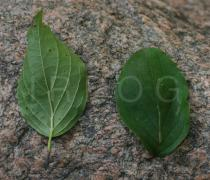 Cornus sanguinea - Upper and lower surface of leaf - Click to enlarge!